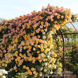 【アウトレット】苗B バラ苗 サハラ'98 6号スリット鉢つるバラ(CL) 四季咲き 黄色系