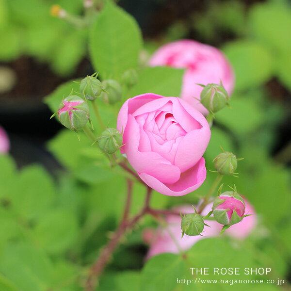 【アウトレット】苗B バラ苗 ローブリッター 6号スリット鉢つるバラ(CL) 一季咲き ピンク系