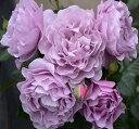 【セール】バラ苗 エターナル 国産大苗7号角鉢 四季咲き 紫系(ローズなかしま)