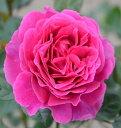 バラ苗 レジーナ 国産新苗植え替え6号スリット鉢 四季咲き ピンク系(ローズなかしま)
