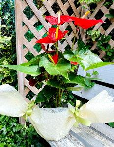 鉢植え 苗 ガーデニング 花 ギフト アンスリューム