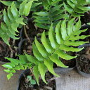 オニヤブソテツ 20ポットセット 常緑 多年草 観葉植物