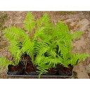 クサソテツ 8ポットセット 山野草 コゴミ 多年草 観葉植物 日陰 シェードガーデン