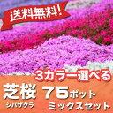 ※送料無料※シバザクラ芝桜3カラー選べる75ポットミックスセット