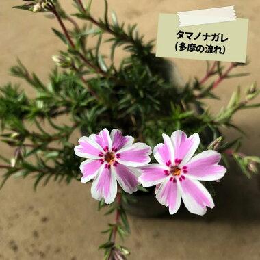 シバザクラ芝桜カラー選べる