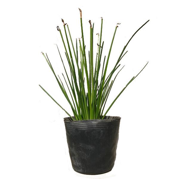 ※送料無料(離島・一部地域除く)※ タマスダレ 【100ポットセット】 球根植物 春植え