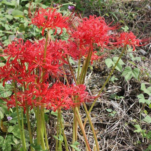 ヒガンバナ 単品 球根植物 庭植え 鉢植え