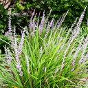 ヤブラン 24ポットセット 藪蘭 リリオペ 常緑 多年草 日陰 グランドカバー
