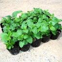 レモンバーム 10ポットセット ハーブ 苗 多年草 香水薄荷 西洋山薄荷