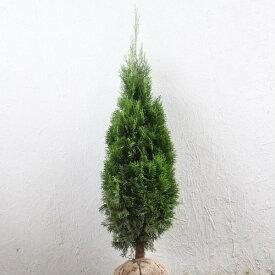 スマラグ エメラルドグリーン樹高1.2m前後(根鉢含まず) 4本セット