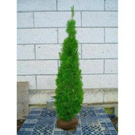 スマラグ エメラルドグリーン樹高1.5m前後(根鉢含まず) 単品