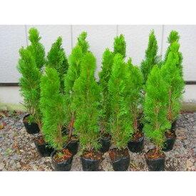 スマラグ エメラルドグリーン 樹高50cm前後 5本セット