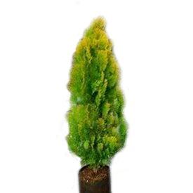 コノテガシワ エレガンテシマ 樹高1.2m前後 4本セット