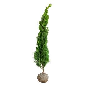 コノテガシワ エレガンテシマ 樹高1.5m前後(根鉢含まず) 単品