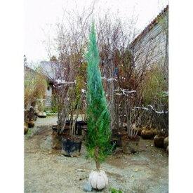 ブルーエンジェル 樹高1.2m前後 4本セット