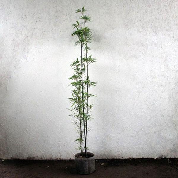 クロチク 黒竹 樹高1.8m前後 (根鉢含まず)