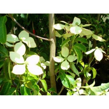 常緑ヤマボウシホンコンエンシス「月光」株立ち樹高2.0m前後