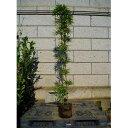 シマダイミョウチク 縞大名竹 樹高1.8m前後 (根鉢含まず)