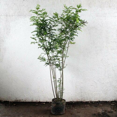 シマトネリコ 株立ち 樹高1.5m前後 (根鉢含まず)