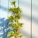 ダイミョウチク 樹高1.8m前後(根鉢含まず) 単品