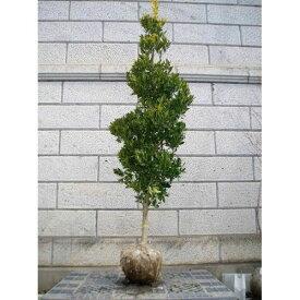 オウゴンモチノキ 樹高1.8〜2.0m前後(根鉢含まず) 単品