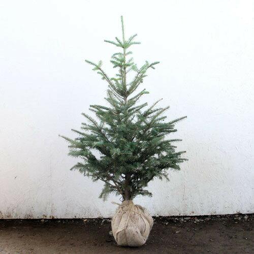 もみの木 (ウラジロモミ) 樹高1.0〜1.2m前後 (根鉢含まず) クリスマスツリー 常緑 庭木