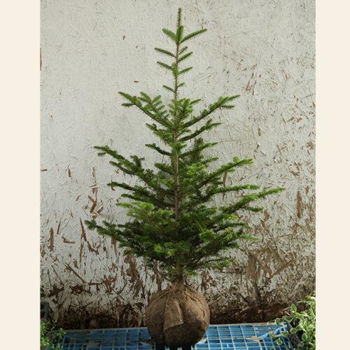 もみの木(ウラジロモミ)樹高1.2〜1.5m前後(根鉢含まず)