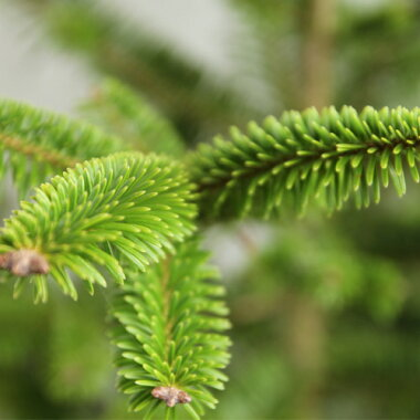 もみの木ウラジロモミ樹高70〜80cm前後(根鉢含まず)単品