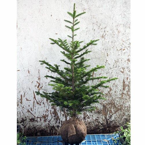 もみの木 (ウラジロモミ) 樹高1.2〜1.5m前後 (根鉢含まず) クリスマスツリー 常緑 庭木