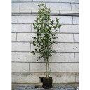 ギンモクセイ 単木 樹高1.8〜2.0m前後 (根鉢含まず)