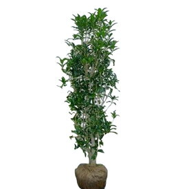 キンモクセイ 単木 樹高1.8〜2.0m前後 (根鉢含まず)