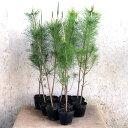 クロマツ 樹高80cm前後 10ポット 黒松 雄松 和風 庭園