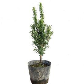 キャラボク 樹高20cm前後 単品