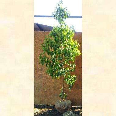 常緑ヤマボウシホンコンエンシス「月光」単木樹高1.8〜2.0m前後(根鉢含まず)