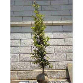 サカキ 樹高1.8〜2.0m前後(根鉢含まず) 単品