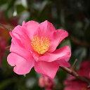 サザンカ 赤系花 樹高1.2〜1.5m前後 単品