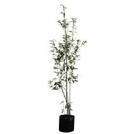 シラカシ 株立ち 樹高1.8〜2.0m前後(根鉢含まず) 単品
