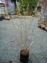 シルバープリペット 樹高1.0m前後 15本セット