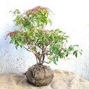 ベニバナアセビ 樹高50〜80cm前後 単品