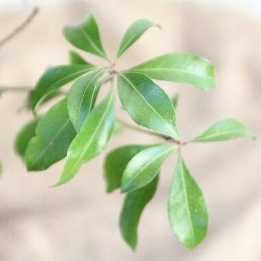 ベニバナアセビ(紅花馬酔木)樹高0.4m前後