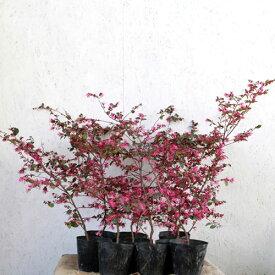ベニバナトキワマンサク (赤葉) 樹高50〜60cm前後 10本セット