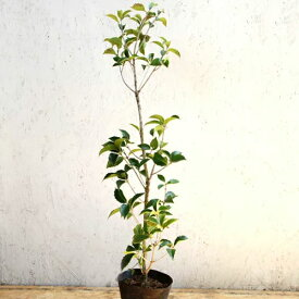 ヒイラギモクセイ 樹高80cm前後 単品