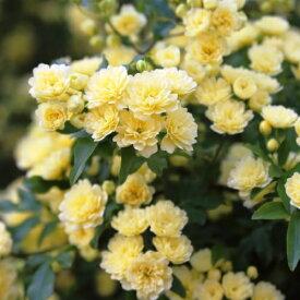 モッコウバラ 黄花 100ポットセット