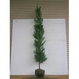 ラカンマキ 樹高1.8〜2.0m前後(根鉢含まず) 単品