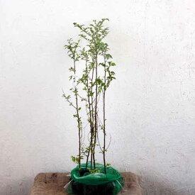 エゴノキ 樹高60cm前後 5本セット