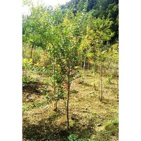 エゴノキ 単木 樹高1.8〜2.0m前後 (根鉢含まず)