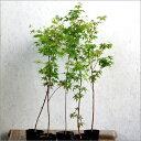 イロハモミジ樹高50cm前後【5本セット】