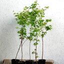 イロハモミジ 樹高80cm前後 5本セット