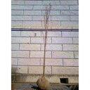 サクラ 天の川 (アマノガワ) 樹高1.8〜2.0m前後 (根鉢含まず)