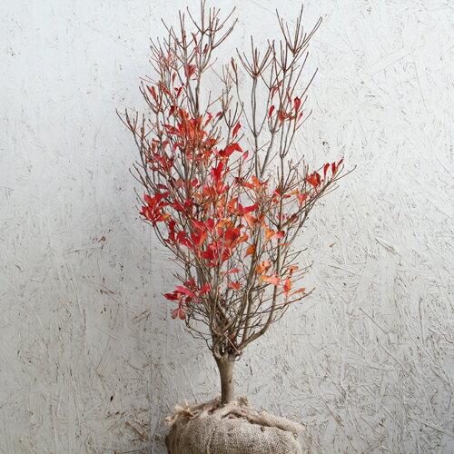ドウダンツツジ樹高80cm前後単品